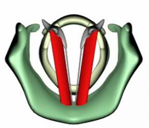 I muscoli tiroaritenoideo e cricotiroideo  (per concessione di Alfonso Borragan Torre)