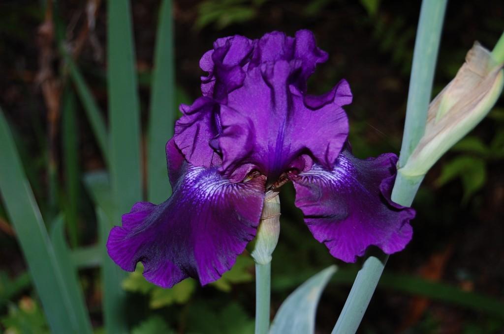 Iris Autunnale